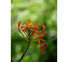 Crucifix Orchid Photographic Print