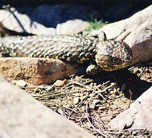 Shingleback Lizard by Michael John
