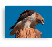 031509 Red Tailed Hawk Canvas Print