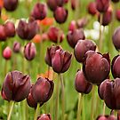 Plum-Colored Tulips by Joshua  Cripps
