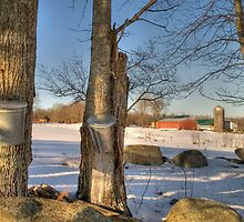 Time to collect the sap by Alana Ranney