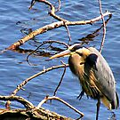 Great Blue Heron by shutterbug2010