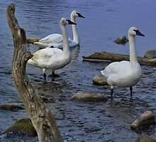 "Three Piece Band - ""Trumpeter"" Swans by John Absher"