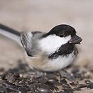 Black-capped Chickadee by Sean McConnery