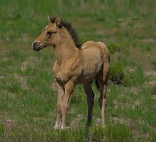 Beautiful Foal  by Nicole  Markmann Nelson