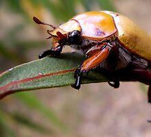 Christmas Beetle by John Marriott