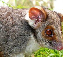 Ringtail Possum by John Marriott