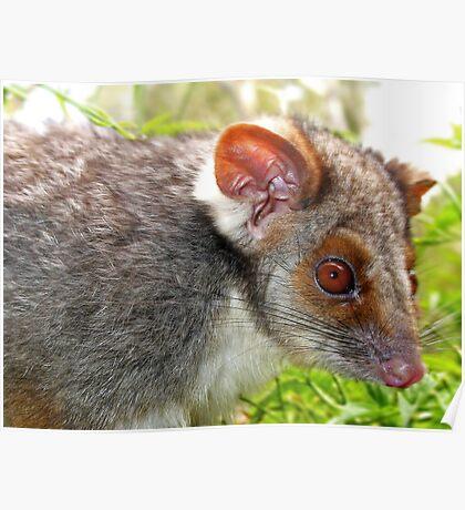 Ringtail Possum Poster