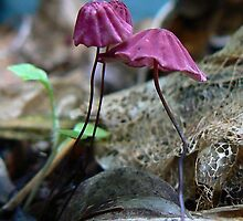 Marasmius pulcherripes by Erin Anderson