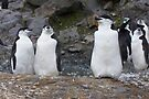 Chinstrap Penguins ~ Aerobics Workout by Robert Elliott