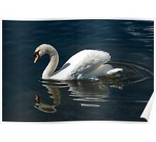 Solitary Swan and Reflection Poster