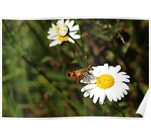 The Moth And The Daisy Poster