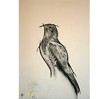 The Black Kite - Charcoal - English Willow Photographic Print