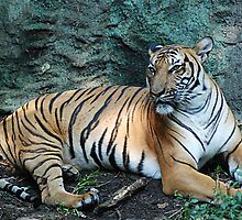 Tiger Resting by Kathy Newton