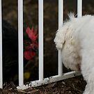 Lucy (maltese) Vs Lucy (chook) by Mark Jackson