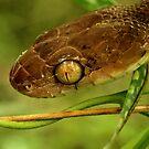 Boiga irregularis - Brown tree snake by Jessica Hacking
