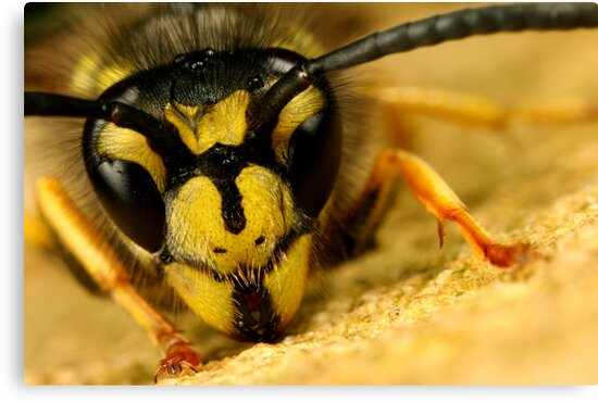 Jasper wasp up close and personal by Scott Thompson