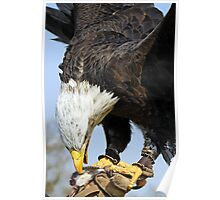 Bald Eagle with lure Poster
