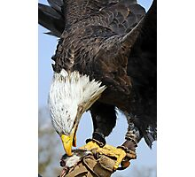 Bald Eagle with lure Photographic Print