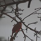Cardinal In The Fog by KatsEye