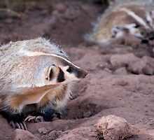 American badger -  Bear Country USA by starsofglass
