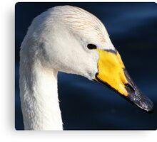 Whooper Swan Canvas Print