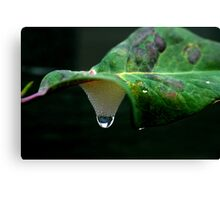 Cookoo Spit and Raindrop Canvas Print