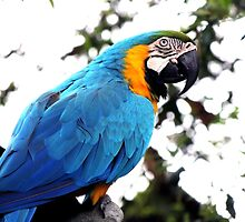 Macaw parrot by franceslewis