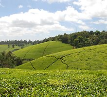 Kenyan Tea Fields by CriscoPhotos