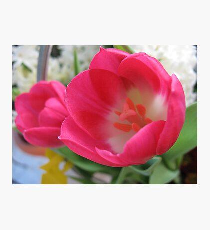 Spring Sprite Tulips Photographic Print