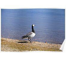 Barnacle Goose at Carsington Water Poster