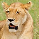 Lioness in Masai Mara on a lazy afternoon by Paulo van Breugel
