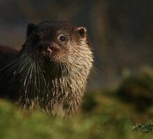 Otter at the British Wildlife Centre by ThatsAndy