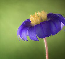 Anemone blue by Mandy Disher