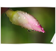 """""""Raindrops on a Zygo Cactus Bloom"""" Poster"""