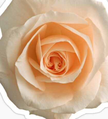 Charming white rose Sticker