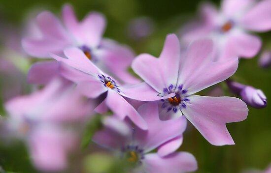 --Pink Spring Phlox-- by T.J. Martin