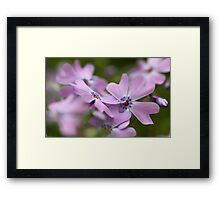 --Pink Spring Phlox-- Framed Print