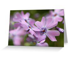 --Pink Spring Phlox-- Greeting Card