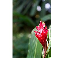 Red Ginger Photographic Print