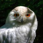 Snowy Owl by Larry Trupp
