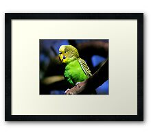 Budgerigar Framed Print