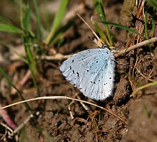 Holly Blue Butterfly by GreyFeatherPhot