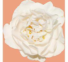 White tender rose Photographic Print
