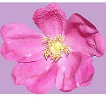 Soft purple flower Photographic Print