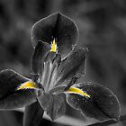 Blue Iris-Black and White-Selected Colour by Craig Stronner