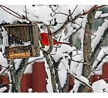 Cardinal Photographic Print