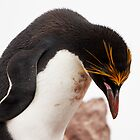 Macaroni Penguin ~ &quot;...at the end of a hard day...&quot; by Robert Elliott