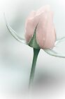Pastel Rosebud by Kathleen  Bowman
