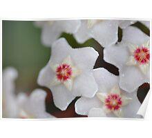 Hoya in Bloom Poster